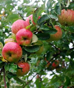 äpplen från vår förrförra trädgård!