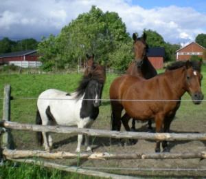 Hästar i hagen på väg till sjön