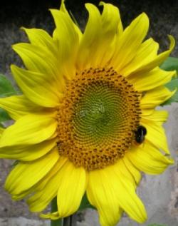 En solros i trädgården